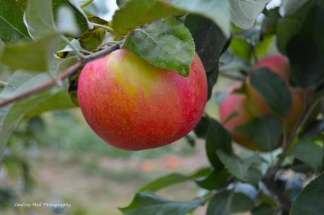 apple hang