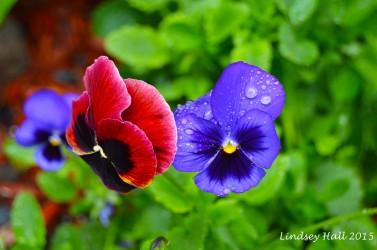 morerainflowers