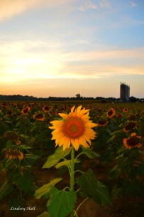 sunflower16